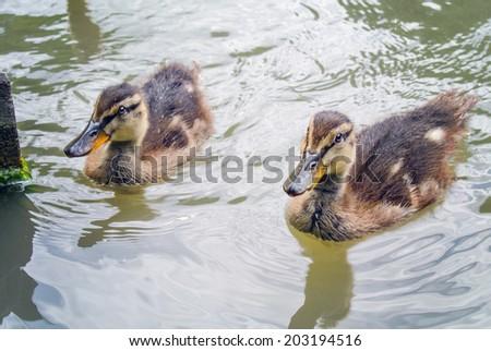Two small mallards swimming on lake's water surface - stock photo