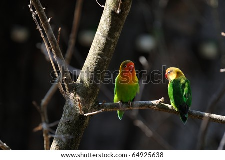 Two small multicoloured lori parrots in a tree - stock photo