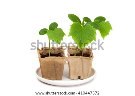 Two small plants of cucumber isolated on white background - stock photo
