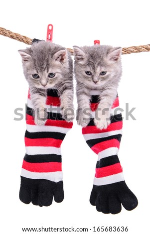 two small Scottish kittens sitting inside socks hanging from washing line. pets isolated on a white background - stock photo