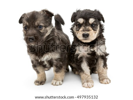 Two small, serious puppy pooch, isolated on a white background