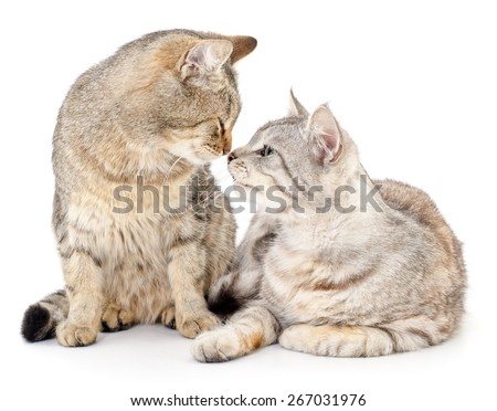 Two small Siberian kittens on a white background.  - stock photo