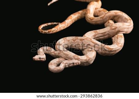 Two snakes Trimeresurus puniceus, isolated on black background - stock photo