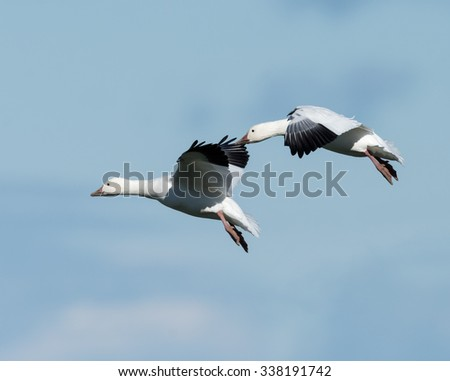 Two Snow Geese Flying in Fall on Blue Sky - stock photo