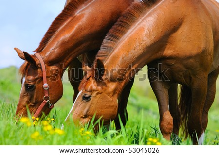 Two sorrel horses on the posture - stock photo