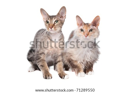 two Sphynx (cat) with hair