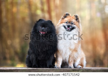 two spitz dogs outdoors - stock photo