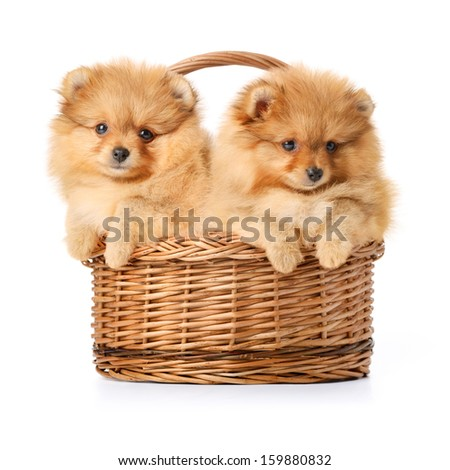 Two  spitz puppies in a basket. Isolated over white