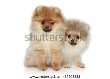 Two Spitz puppies on a white background - stock photo