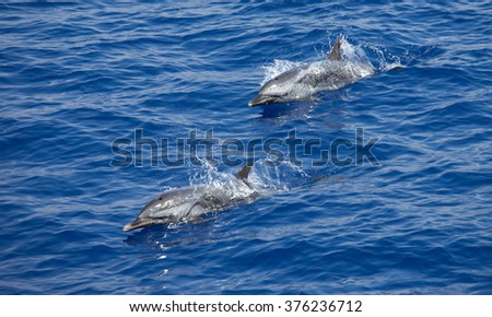 Two spotted dolphins breach or jump simultaneously for a breath of air while swimming alongside the boat - stock photo