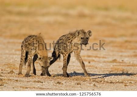 Two Spotted hyenas in open field; Crocuta crocuta - stock photo