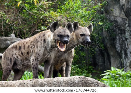 Two spotted hyenas standing . - stock photo