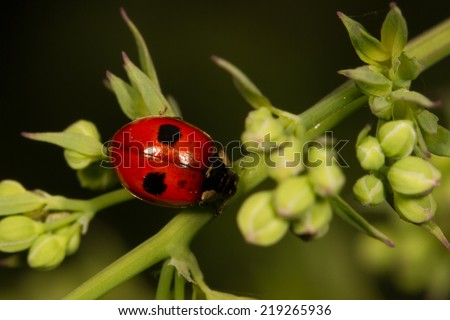 Two spotted lady beetle - stock photo