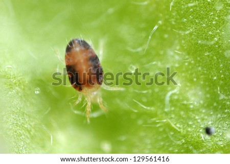 Two-spotted Spider mite Tetranychus urticae - stock photo