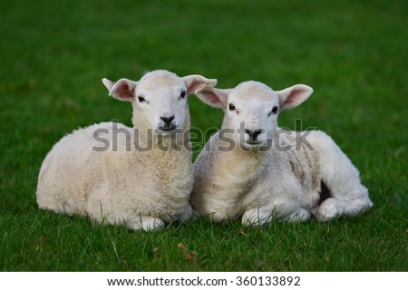 Two Spring Lambs Rest in a Lush Green Field - stock photo