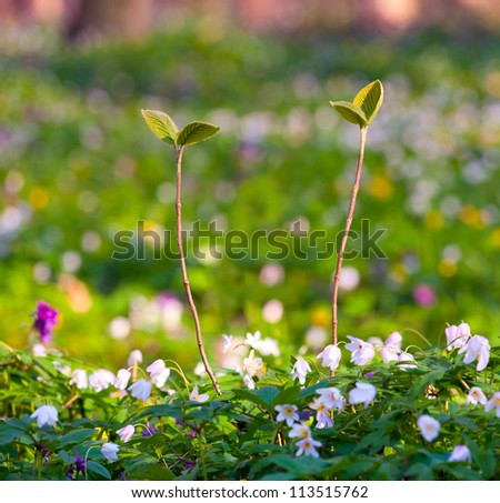 Two sprouts in the spring forest use as background - stock photo