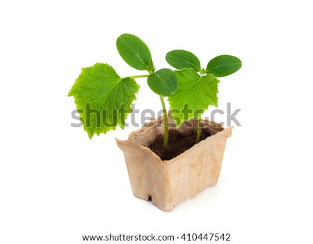 Two sprouts of cucumber in cardboard box