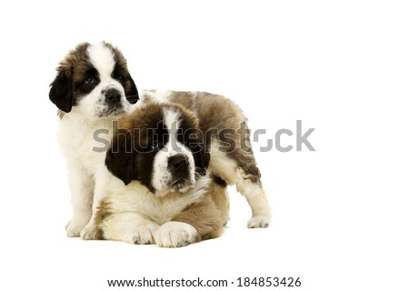 Two St Bernard puppies together isolated on a white background - stock photo