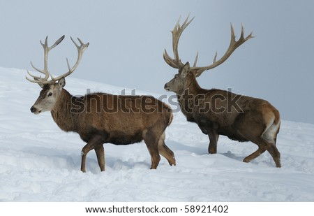 two stag on a meadow in winter - stock photo