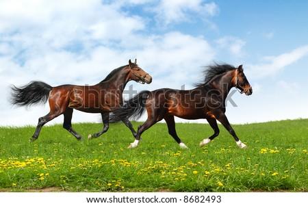 two stallions trot - realistic photo-montage - stock photo