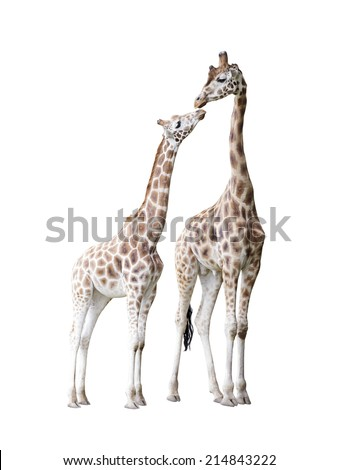 Two standing giraffes with clipping path - stock photo