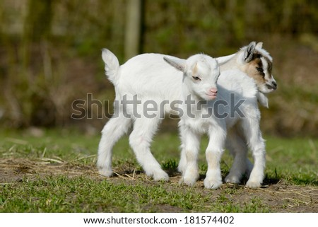 two standing goat kids