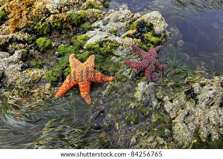 Two starfishes on a coast of Pacific ocean (British Columbia. Canada) - stock photo