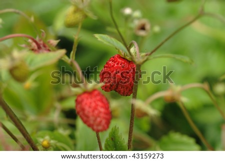 two strawberries on twigs - stock photo