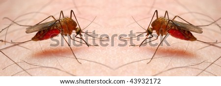 Two sucking Anopheles mosquitoes - dangerous vehicle of infection - stock photo