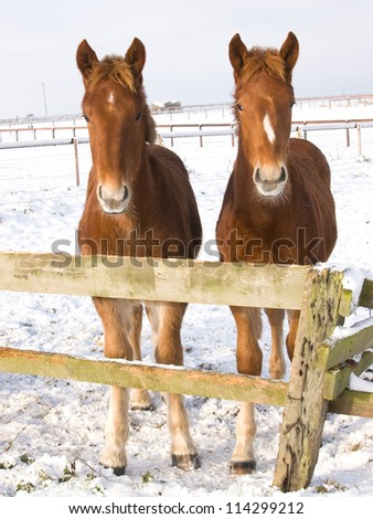 Two Suffolk Punch foals stand near a fence in the snow. - stock photo