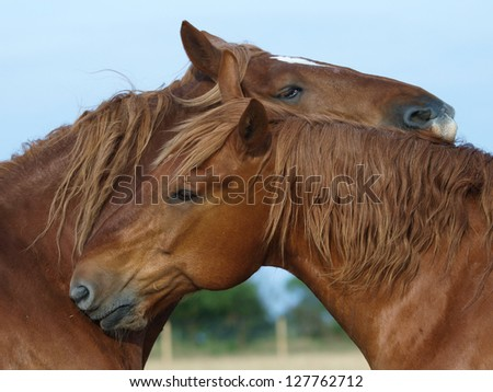 Two Suffolk Punch horses mutual groom each other in a paddock - stock photo