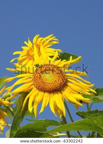Two sunflowers - stock photo