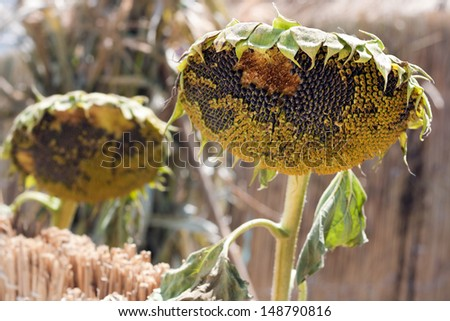 Two sunflowers head with seeds and stem dried near the fence - stock photo