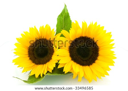 Two sunflowers isolated on white background - stock photo
