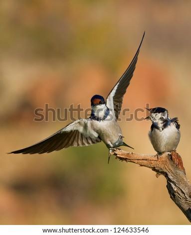 two swallows - stock photo