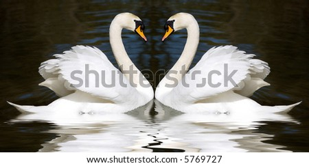 Two swan mirrored looks like a heart - stock photo