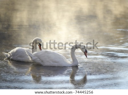 two swans in fogy morning - stock photo
