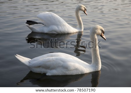 Two Swans in Hyde Park Central London - stock photo