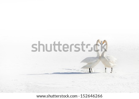 Two swans in love on a snowy field - stock photo