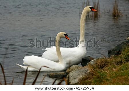 Two swans sitting quietly - stock photo