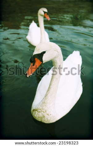 Two swans swimming - stock photo