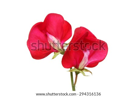 Two sweet pea flowers isolated against white - stock photo