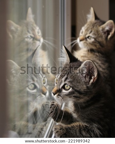 Two tabby kittens are reflected to play in a window pane. - stock photo