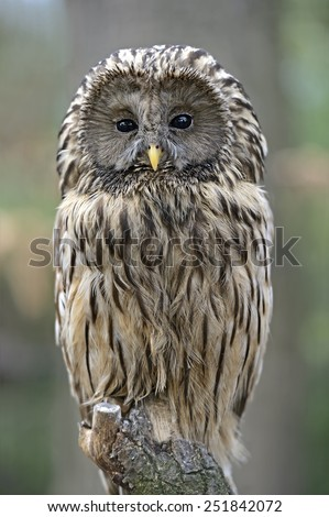 two-tailed owl  - stock photo