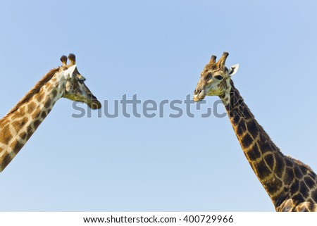 Two tall giraffe standing close to each other in the hot afternoon sun - stock photo