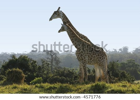 two tall giraffes standing together next to some bushes - stock photo