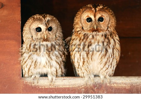 Two tawny owls in the barn - stock photo