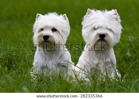 Two terrier puppy sitting on the green grass - stock photo