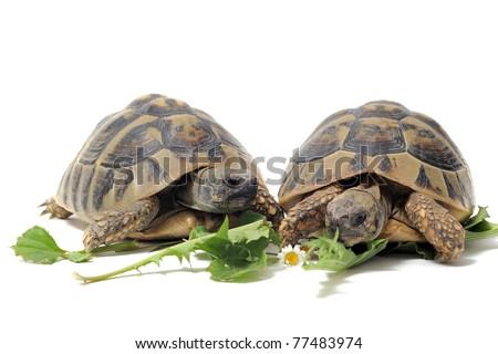 Two Testudo hermanni tortoises eating on a white isolated background - stock photo