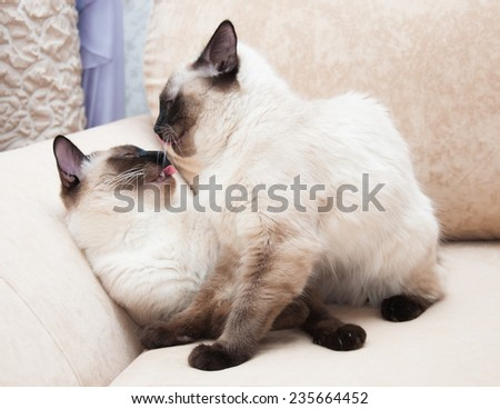 Two Thai cat color seal point - stock photo